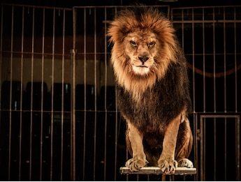 lion-circus